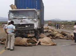 تصادف کامیون با گله شتر