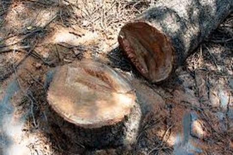 قطع شبانه درختان و ۲ واکنش