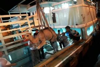 عکس/ نحوه صادرات شتر از بندر لنگه