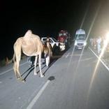 بازهم تصادف خودرو با شتر و مصدمیت سرنشینان