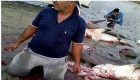اظهارات ضد و نقیض درباره نسلکشی کوسههای سرچکشی در خلیجفارس