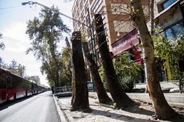 ورود سازمان بازرس به موضوع حفظ درختان خیابان ولیعصر تهران